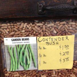 Contender Bush Bean