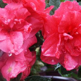 Encore Azalea Rhododendron Autumn Rouge