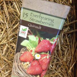 Everbearing Quinault Strawberries
